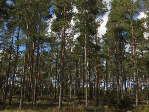Forest in Gotland