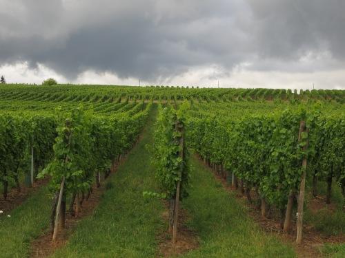 A Grand Cru vineyard between Barr and Mittelbergheim. Thunderstorm approaching!