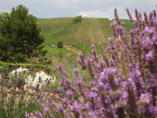 Lavender and grapes outside Dambach-la-Ville.
